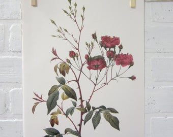 Redoutes Roses Book Page Plate Botanical Wall Art Burgundy Rosa Noisettiana purpurea Rose