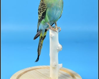 taxidermy of green parakeet budgerigar mounted in glass dome,Free shipping ,cool gift G#