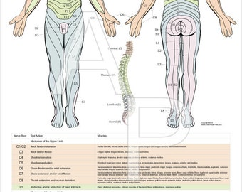 """Dermatomes, Myotomes and DTR Poster - 24"""" X 36"""" Chiropractic Medical"""