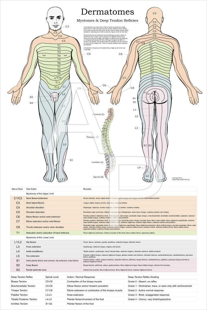 Dermatomes Myotomes and DTR Poster 24 X 36 Upper Extremity Myotomes