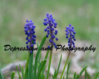 Grape Hyacinth Photograph Print