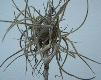 20 Tillandsia Ball Moss Air Plant  Orchids Bromilaids Florida Air Plants Epiphytes