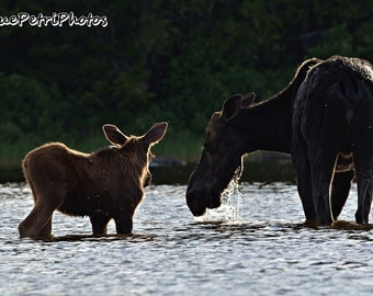 Cow Moose and Calf, Wildlife Photography, Photographed in Greenville, Maine, Moose Photos, Moose Calf Photos, Momma Moose and Baby, Nature