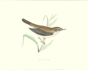 Bird Print Antique, Reed Warbler, History of British Birds, F O Morris, 1851