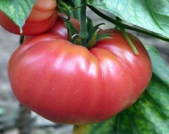 German Johnson Heirloom Tomato Seeds Rare