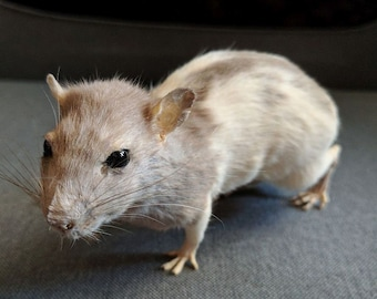 Hooded Rat Lifesize Mount Taxidermy Sculpture