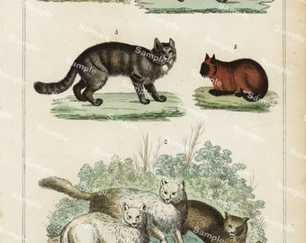 Animal Natural History original hand colored print of Cats over 150 years old Rare find