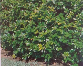 Dwarf Burford Holly Shrub 3 gallon size Live Healthy Evergreen Shrubs Tree Plants Hedges Landscape Trees Grow Your Own Home Plant New