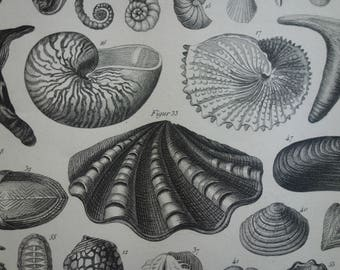 """SHELLS original 160+ year old marine life print - lovely 1849 poster with old pictures of shell starfish coquilles muscheln - 23x30c 9x12"""""""