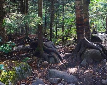 Hiking the Cascade Mountain Trail. Cascade Mountain, Adirondacks, Tree Roots, Trees, Keene, New York, NY, Upstate, Mountains