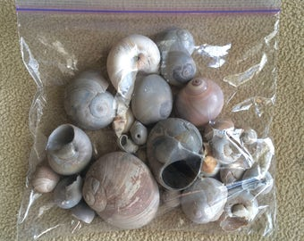 Bulk Atlantic Moon Snail Shells - Hand Gathered Variety of Sizes, Shapes, and Colors