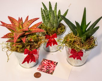 Three Gorgeous Aloe Plants in Tin Can Planters