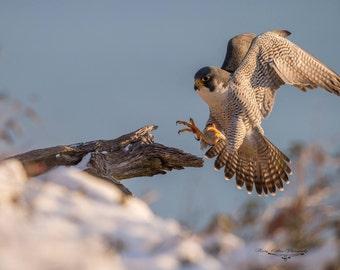 Peregrine Falcon Photo