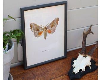 Framed Moth Print circa 1965 by Prochazka, wall decor