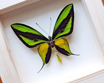 Ornithoptera Paradisea Male - Framed Butterfly - Collectibles - Home Decoration _ RARE!
