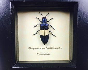 Chrysochroa Castelnaud Beautifull Blue Coloured Jewel Beetle Wooden Frame Entomology Insect Art