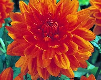Prince of Orange Semi-Dinnerplate Dahlia - 2 Root Clumps