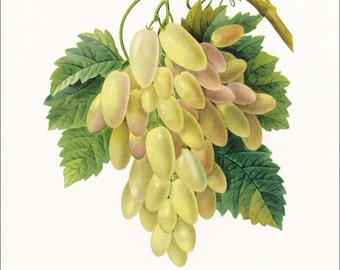 White grapes vintage botanical print gardening gift edible fruit wine by Pierre-Joseph Redouté  7 x 9.25 inches