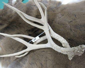 Natural Deer Antler Sheds - Whitetail deer sheds - sheds chews buck craft fork horn Antler #7