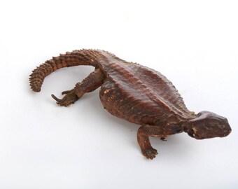 Lizard, animal taxidermy, real taxidermy, mummify animal, real animal taxidermy, small animal taxidermy