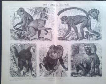 """Lithography, """"Monkey II, old world monkeys""""."""