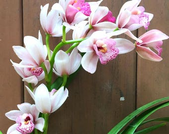 Fragrant Cymbidium Sweetheart 'Sensation' Live Orchid House Plant with Seed Pods