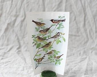Bird Print Nº 95 | Birds of America