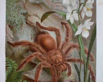 old print litho tarantula 1895