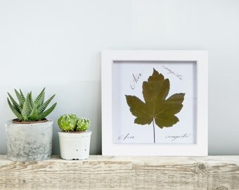 Pressed leaf. Botanical picture. Pressed dried leaf. Herbarium. Nature lovers. Gift for home. Home decor. Botanical framed picture. Acer