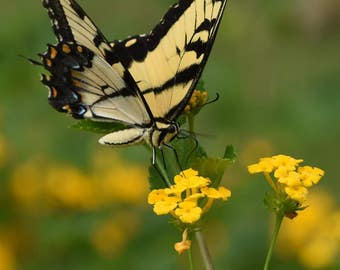 Swallowtail Butterfly on Lantana, 2
