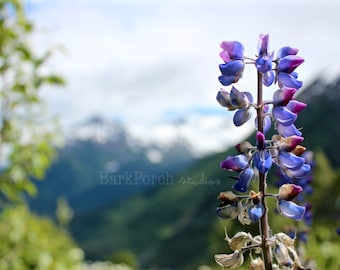 Alaska purple lupine wildflowers; Kenai Mountains; Exit Glacier; Summer; Nature photography; bedroom; bathroom; living room; cottage; cabin