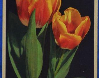 Darwin Tulip Orange Yellow Flowers Art Printed in Switzerland Antique Early 1900s Postcard