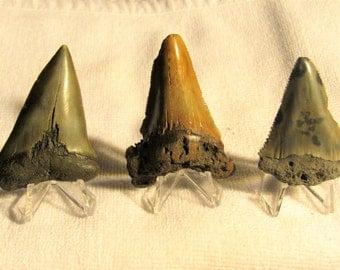 Collection - 3 Extinct Shark Teeth