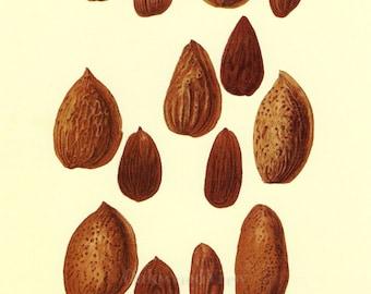 Almonds by Deborah Griscom Passmore, Almond Nut Nuts, Vintage 1994 8x12 Botanical Art Print, Home Wall Decor, FREE SHIPPING