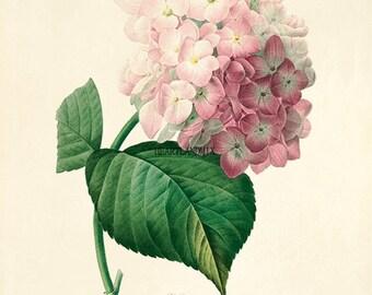 Vintage Hydrangea  Download Printable Wall Art Graphic Image