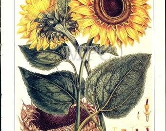 Botanical illustration of Sunflowers