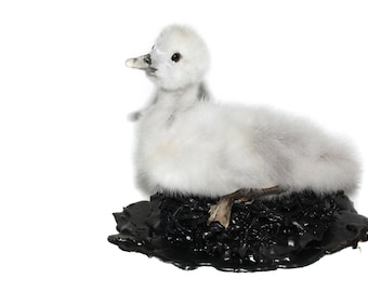 real taxidermied swan chick sculpture  / bird  / mounted bird taxidermy art/