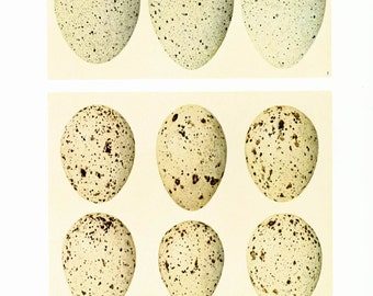 1967 Vintage Bird Egg Print. Eggs Illustration. Coots. Moorhens. Gift for Birders. Oology. Ornithology Wall Art.