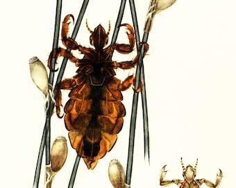 1960 Vintage Louse Print. Lise illustration. Parasite Print. Entomology. Natural History. Science.
