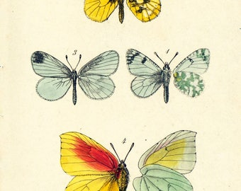 1879 Antique Orange Tip Lithograph Butterfly Illustration. Anthocharis. Insect. Entomology. Natural History.