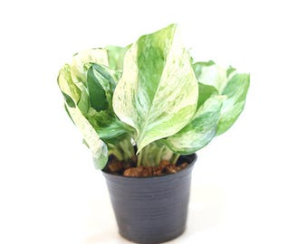 Epipremnum aureum common names Australian Native Monstera, Devil's Ivy, Golden Pothos, Ivy Arum, Silver Vine and Taro Vine.