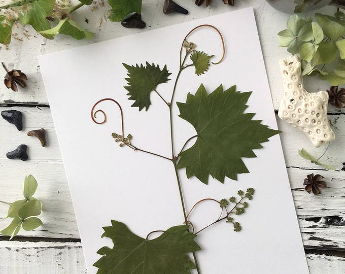 Real Pressed Flowers:  Natural Blooming Florida Grapevine with Tendrils > Dye Free - Biodegradable - ECO Friendly