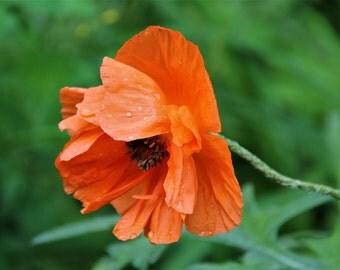 Orange Poppy - Photograph