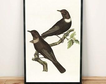 Ring ouzel thrush bird print art drawing poster