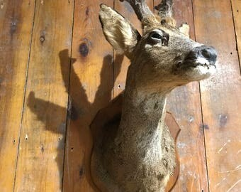 Antique Roe Deer In Velvet Taxidermy
