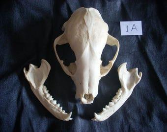 Raccoon skull 1A