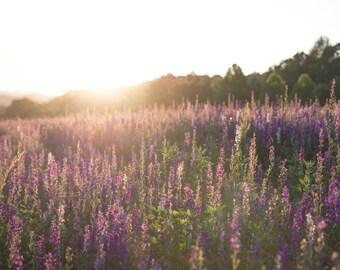 Purple Field Sunset - Horizontal
