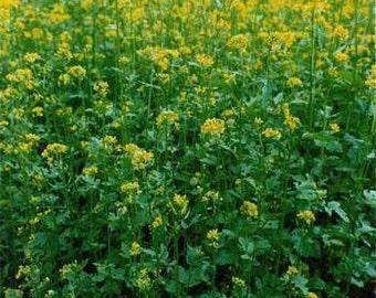 Yellow Mustard Herb Seeds/Sinapis Alba/Annual   75+