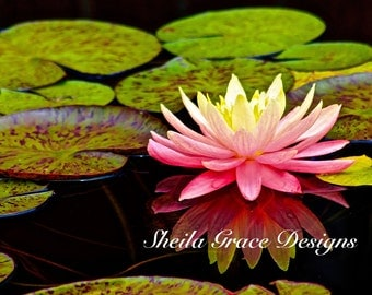 """Chicago Botanic Garden Photography, Pink Waterlily, Floral Photography, Nymphaea """"Sunfire"""" Waterlily, Pink and Yellow Waterlily Photo"""