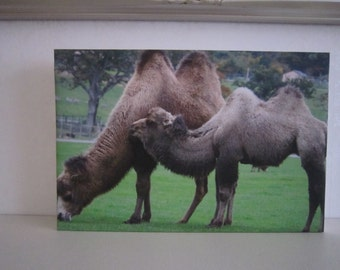 Photograph of camels on canvas